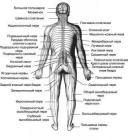 Anatomical features  of the autonomic nervous system